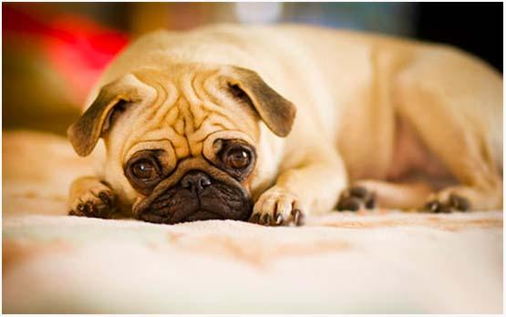 симптомы аденовируса у собаки
