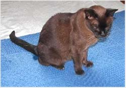 цистит у кошек симптомы и лечение