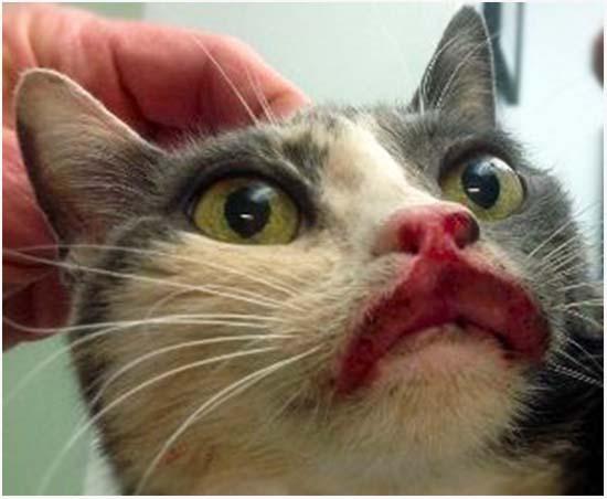лечение эозинофильной гранулемы у кошек