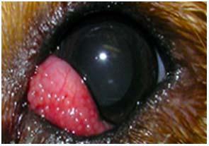 лече1ние конъю1нктивита у собак