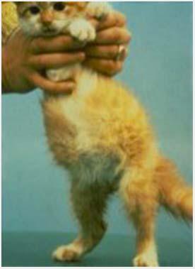 водянка при коронавирусе у кошек