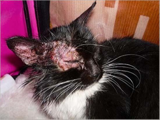 лишай у кошек лечение
