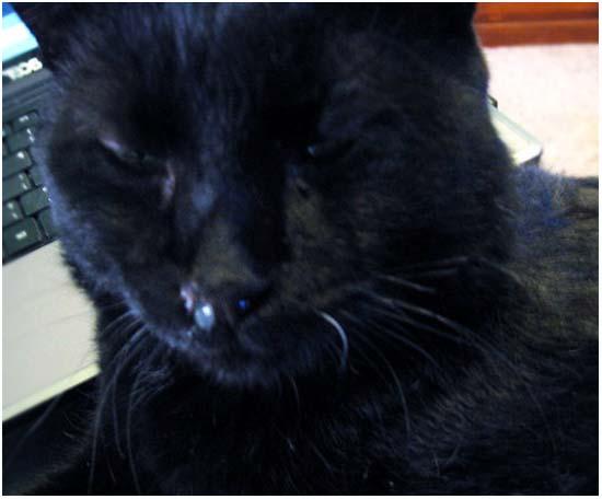 насморк у кошек лечение