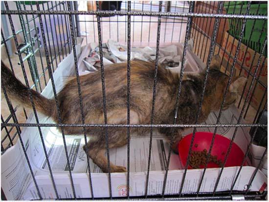 панкреатит у кошки симптомы и лечение