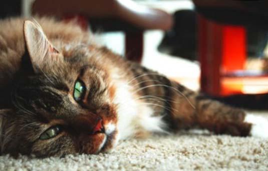 ОПН у кошки