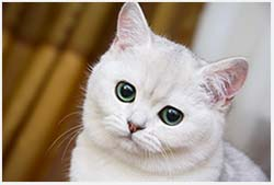 когда лучше делать стерилизацию кошке