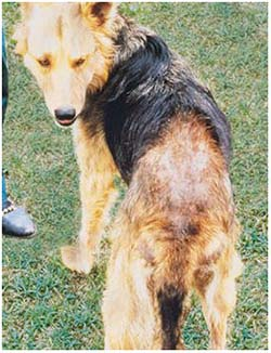 мокнущий дерматит у собаки