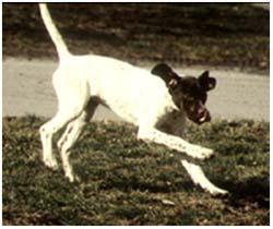 атаксия у собак лечение