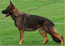 виляющая походка у собаки