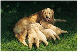 гипокальциемия у собаки