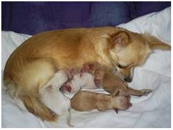 эклампсия после родов у собак