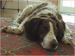 лечение эндометрита у собаки