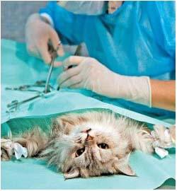 как проходит операция по кастрации кота