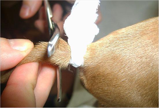 как проходит купирование хвоста у щенков