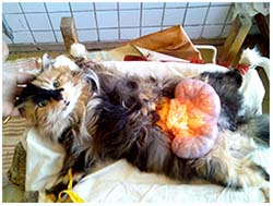 пиометра у кошки фото