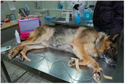 лечение сердечной недостаточности у собаки