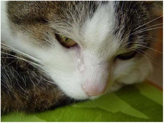 котенок чихает и слезятся глаза