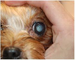 катаракта у собаки фото