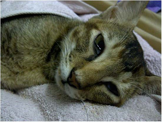 симптомы и лечение чумки у кошки