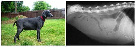 первые симптомы асцита (водянки) у собаки