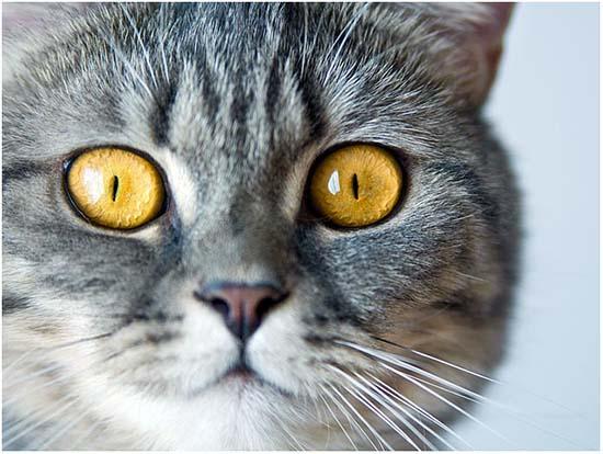 симптомы гепатита у кошек