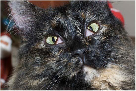 аллергический конъюнктивит у кошки