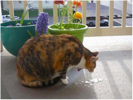 Как часто кот может рыгать