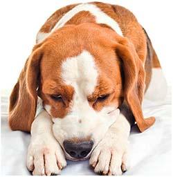 рвота у собаки непереваренной пищей