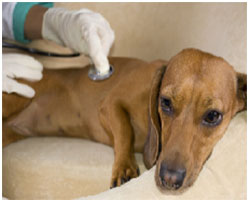 диагностика энтероколита у собаки