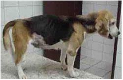 хронический энтероколит у собаки симптомы