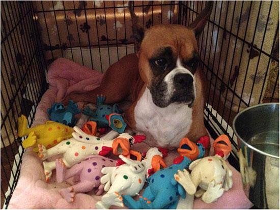 ложная щенность у собак