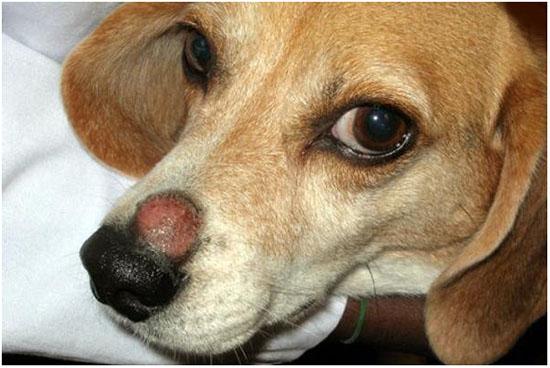 трихофития у собаки на морде
